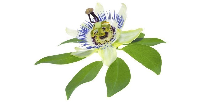 Pasiflora (Passiflora incarnata) Passion flower